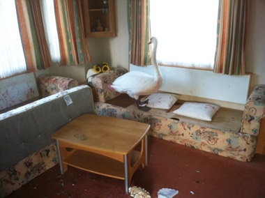 Swan smashes through window and into static caravan